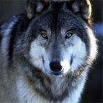 Esquemas de Lobos en Punto de Cruz