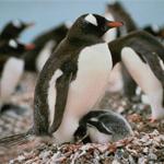 Esquemas de Pingüinos en Punto de Cruz